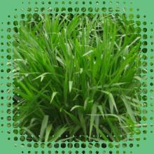 Sementes de Capim - Brachiaria Ruziziensis - Sementes Revestidas - CX 1KG